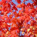 Bill Kowalczyk Associates - red maple